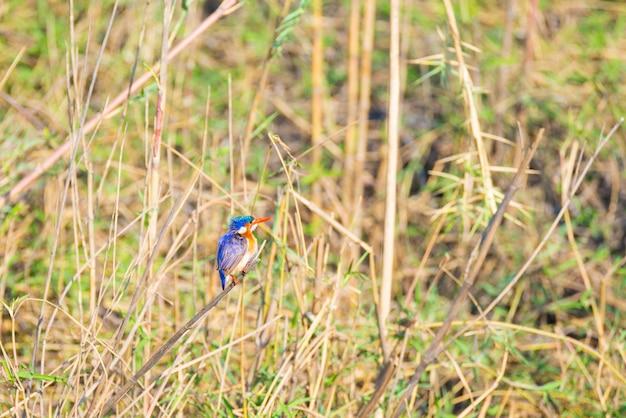 Nahaufnahme eines kleinen netten bunten eisvogels hockte auf einer niederlassung im afrikanischen busch auf dem flussufer von chobe river, namibia.