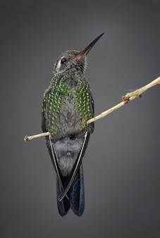 Nahaufnahme eines kolibris, der auf einem ast sitzt