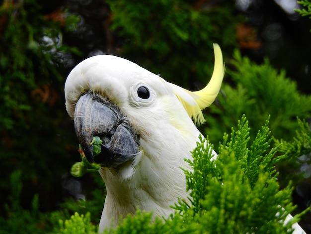 Nahaufnahme eines kopfes eines schönen kakadus mit schwefelhaube mit einem niedlichen blick unter einigen pflanzen