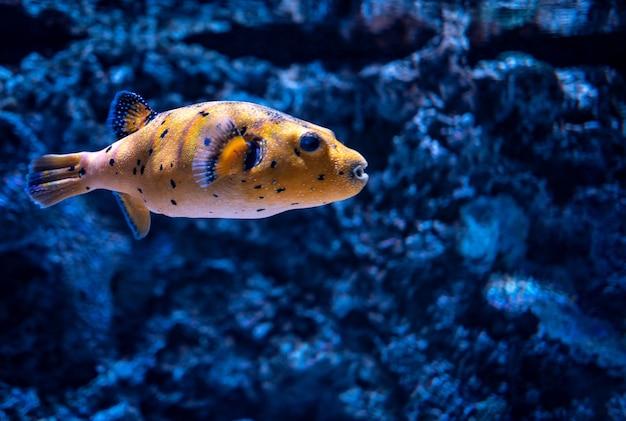 Nahaufnahme eines korallenrifffisches, der in einem aquarium unter den lichtern mit einem verschwommenen hintergrund schwimmt