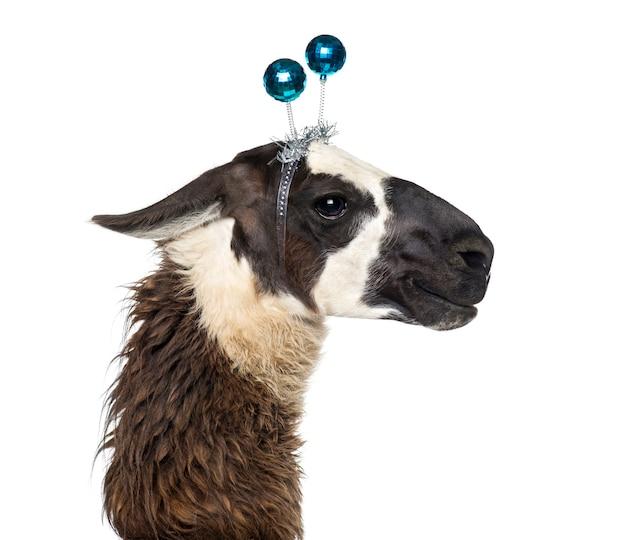 Nahaufnahme eines lamas mit stirnband