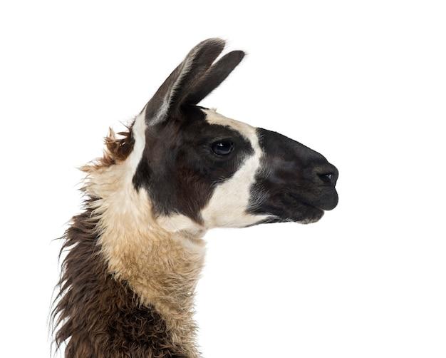 Nahaufnahme eines lamas
