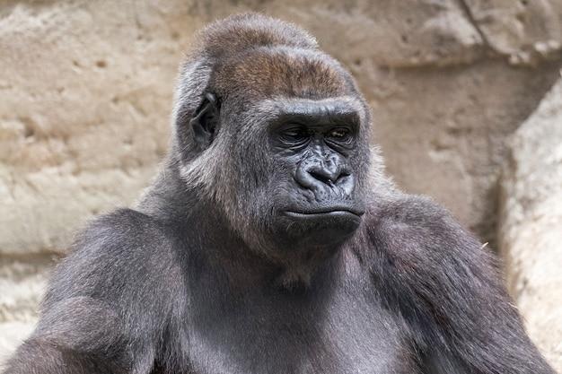 Nahaufnahme eines männlichen silberrückengorillas