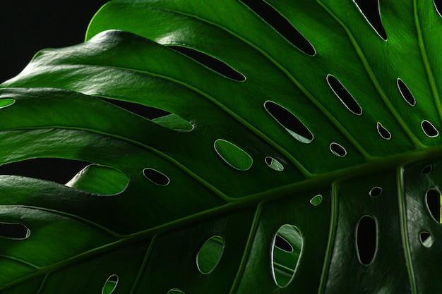 Nahaufnahme eines monsterblatts auf dunkelschwarzer oberfläche