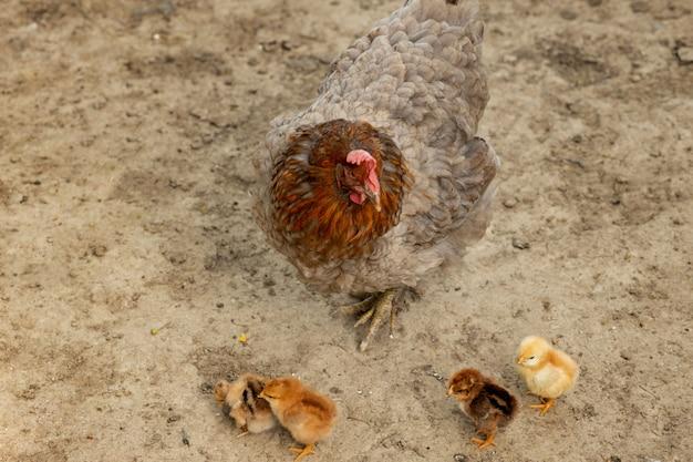 Nahaufnahme eines mutterhuhns mit seinen babyküken auf der farm. henne mit babyhühnern