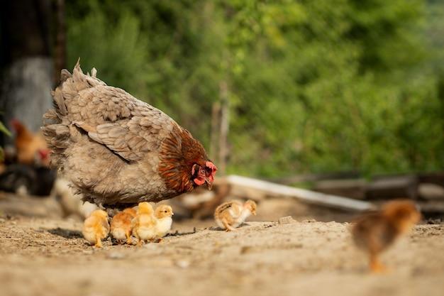 Nahaufnahme eines mutterhuhns mit seinen babyküken auf der farm. henne mit babyhühnern.
