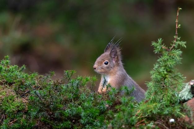 Nahaufnahme eines neugierigen süßen eichhörnchens, das hinter dem moos hervorschaut