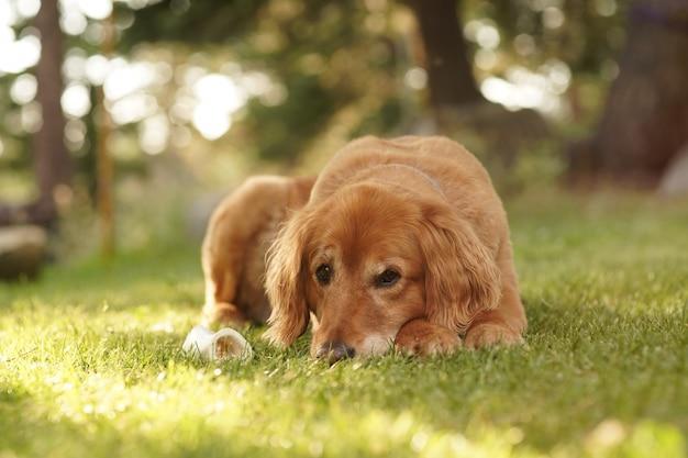 Nahaufnahme eines niedlichen golden retriever, der auf dem gras liegt und auf die kamera an einem suuny tag schaut