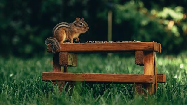 Nahaufnahme eines niedlichen kleinen eichhörnchens, das nüsse auf einer hölzernen oberfläche in einem feld isst