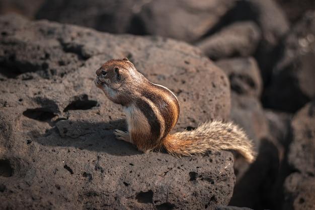 Nahaufnahme eines niedlichen wilden eichhörnchens, das etwas auf einem felsen isst