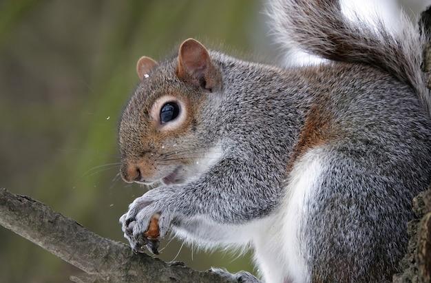 Nahaufnahme eines östlichen grauen eichhörnchens