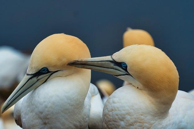 Nahaufnahme eines paares nördlicher granatvögel