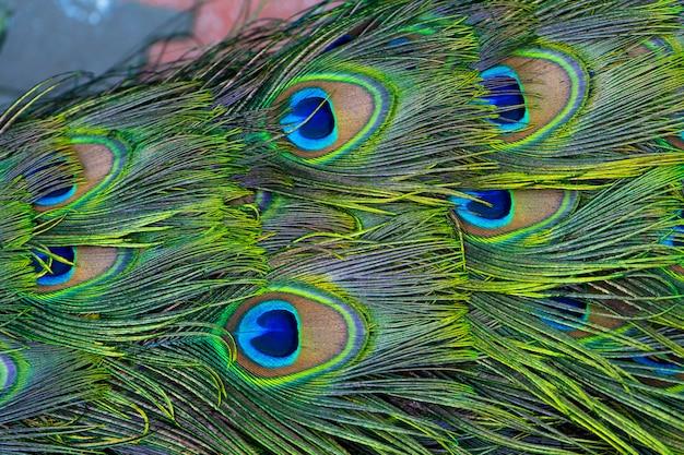 Nahaufnahme eines pfauenschwanzes. federn am schwanz eines pfaus. farben der natur