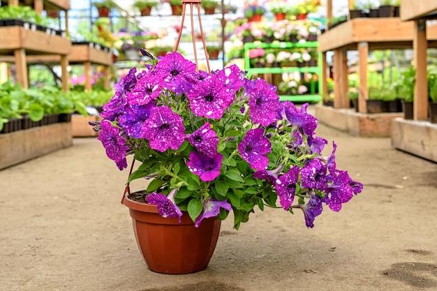 Nahaufnahme eines pflanzers mit schönen kosmischen petunienblumen, die im gartencenter auf dem boden stehen.