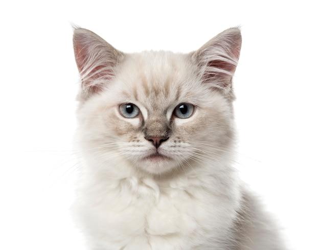 Nahaufnahme eines ragdoll-kätzchens, lokalisiert auf weiß