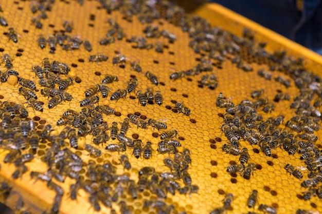 Nahaufnahme eines rahmens mit einer wachswabe aus honig mit bienen darauf. imkerei-workflow.