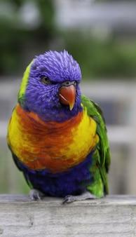 Nahaufnahme eines regenbogens loriini, der auf einem holzbrett unter dem sonnenlicht sitzt