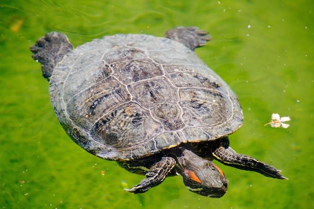 Nahaufnahme eines rotohr-schieberschildkröten-typs, der im wasser schwimmt