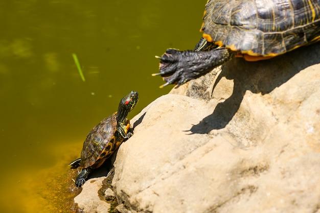 Nahaufnahme eines schildkrötenpfote tiermakros