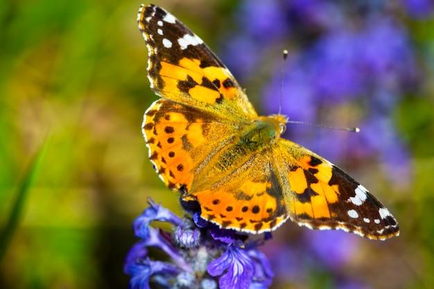 Nahaufnahme eines schmetterlings painted lady vanessa cardui. orangefarbener und schwarzer tagschmetterling auf einer lila lavendelblüte, sommer