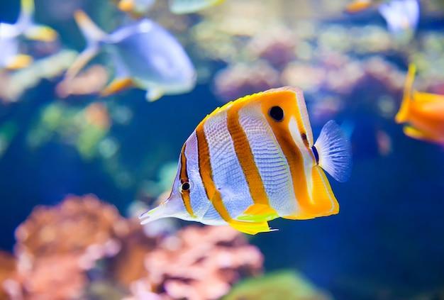 Nahaufnahme eines schnabelkorallenfisches in einem aquarium