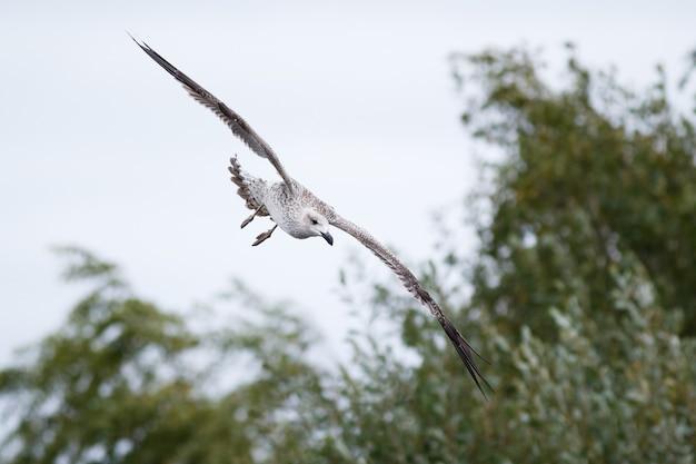 Nahaufnahme eines schönen jugendlichen great black - backed gull, der an einem bewölkten tag fliegt
