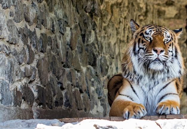 Nahaufnahme eines schönen tigers, der die kamera gegen die steinmauer betrachtet. mit platz für text.