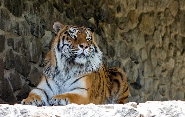 Nahaufnahme eines schönen tigers, der die kamera gegen die steinmauer betrachtet.