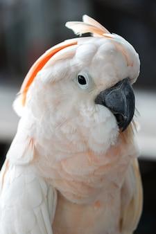 Nahaufnahme eines schönen weißen kakadu-lachs-haubenvogels, der auf einem zweig klebt.