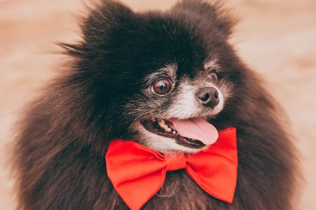 Nahaufnahme eines schwarzen pommerschen hundes mit herausgestreckter zunge, der eine süße schleife trägt