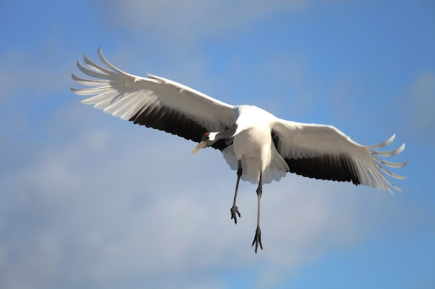 Nahaufnahme eines schwarzhalskrans, der unter dem blauen himmel und im sonnenlicht in hokkaido in japan fliegt