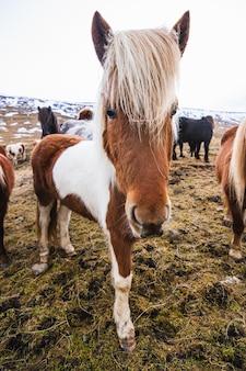 Nahaufnahme eines shetlandponys in einem feld, das im gras und im schnee unter einem bewölkten himmel in island bedeckt ist