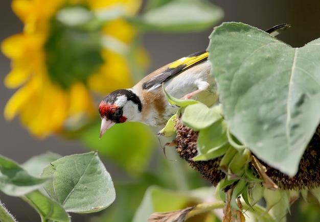 Nahaufnahme eines stieglitzes auf dem sonnenblumengead