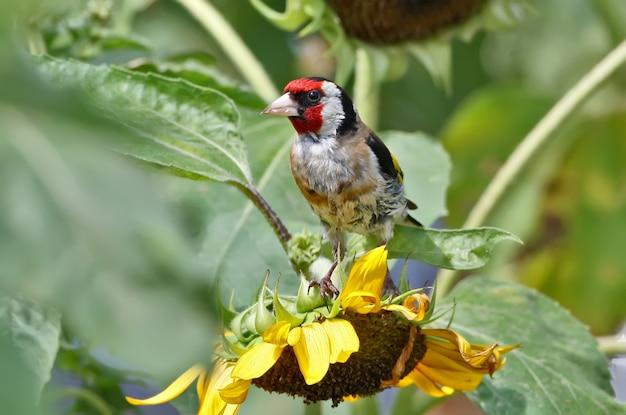 Nahaufnahme eines stieglitzes sitzt auf dem sonnenblumenkopf