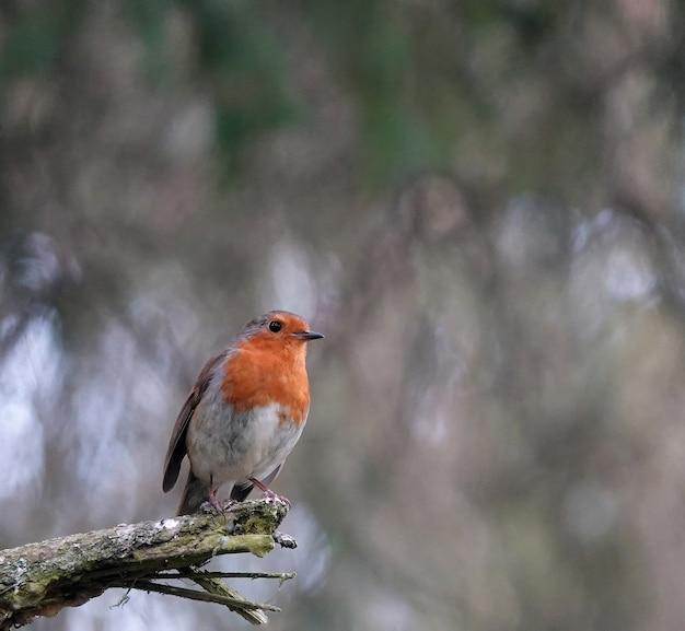 Nahaufnahme eines süßen europäischen rotkehlchenvogels, der am ende eines astes im wald steht