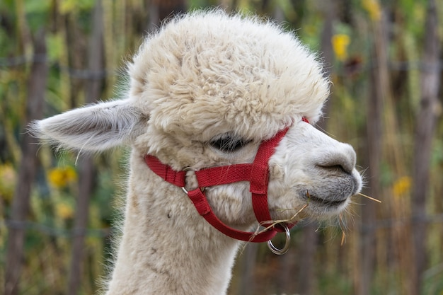 Nahaufnahme eines süßen weißen lamas in einem roten netzmaulkorb