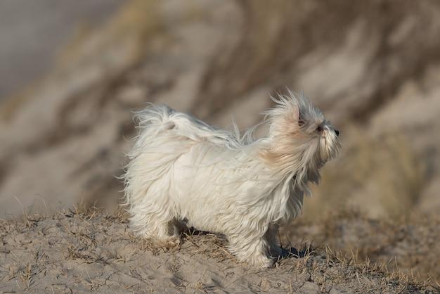 Nahaufnahme eines tibetischen terriers auf sandigem boden