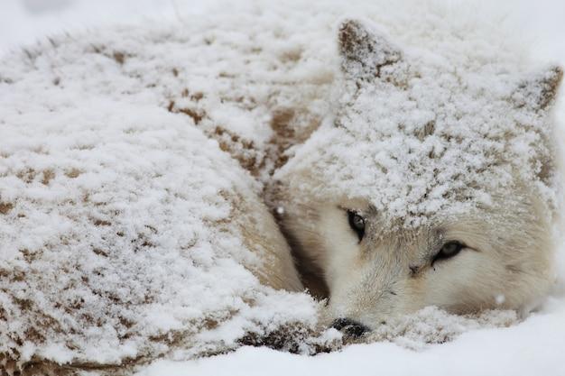 Nahaufnahme eines verschlafenen alaskischen tundra-wolfs bedeckt im schnee in hokkaido in japan