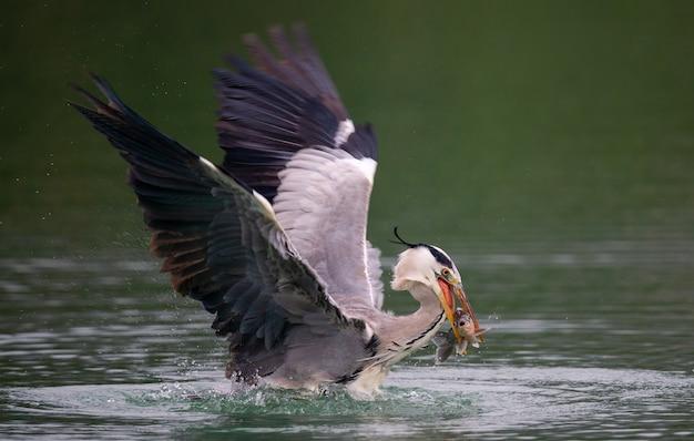Nahaufnahme eines vogels von ardea herodias, der über einem see fischt - perfekt für hintergrund
