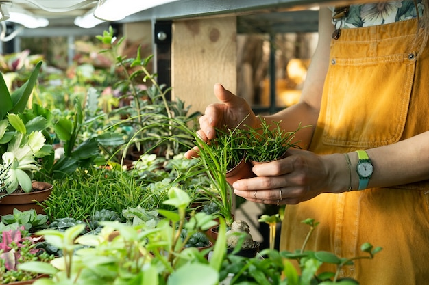 Nahaufnahme eines weiblichen floristen, der sich um die gärtnerei mit kleinen sukkulenten-gewächshausarbeitern bei der arbeit kümmert
