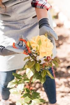 Nahaufnahme eines weiblichen gärtners, der die gelbe rosenblume mit scheren trimmt