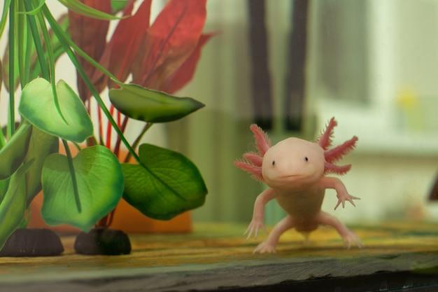 Nahaufnahme eines weißen axolotl, mexikanischen wandelnden fisches, tropische unterwasseramphibie von mexiko. axolotle - wandelnde eidechse, süßwasserreptil im aquarium.