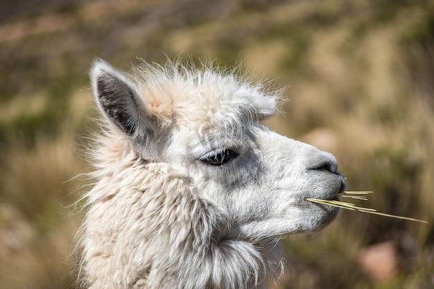 Nahaufnahme eines weißen lama, das kaut