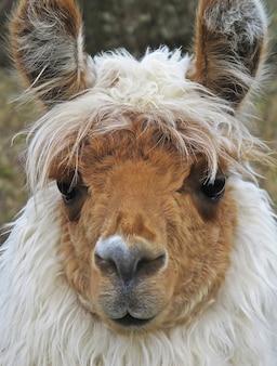 Nahaufnahme eines weißen lamas mit braunem gesicht