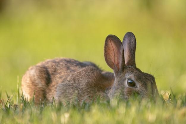 Nahaufnahme eines wildkaninchens im gras des rasens