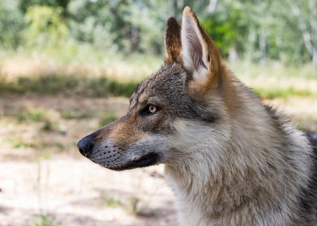 Nahaufnahme eines wolfshundes