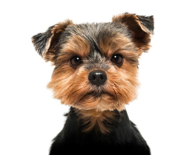 Nahaufnahme eines yorkshire terrier, der die auf weiß lokalisierte kamera streng betrachtet