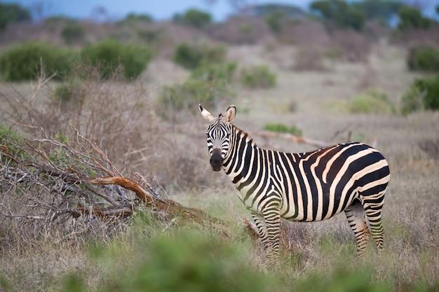 Nahaufnahme eines zebras in einer wiese