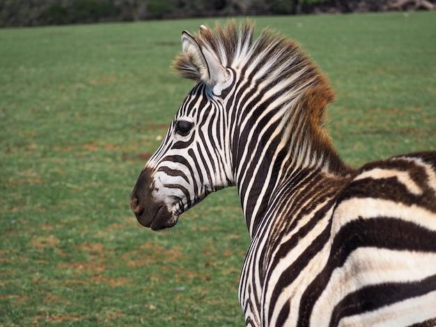 Nahaufnahme eines zebras in freier wildbahn