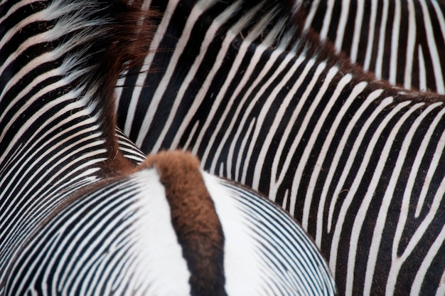 Nahaufnahme eines zebras unten